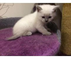 Прямоухий котик. Колорик голубой в дар