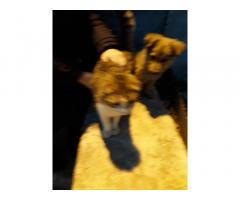 Вислоухая кошка стоит 1.000 руб