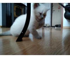 Кошечка (Британочка) белая