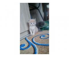 Котята 1 месяц активный поиграться серый белый и молочно рыжий