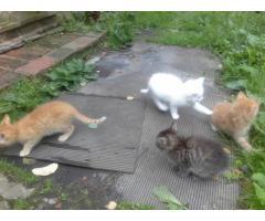 Котята необычайно красивые от Ангорской мышеловки
