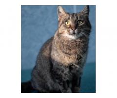 Красивая и ласковая кошка срочно ищет лом